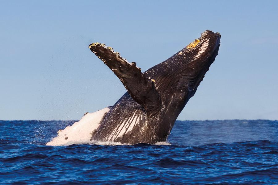 hero_whale_humpback